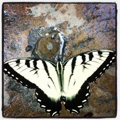 Zebra Moth by Eleanor Smith